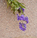 Duranta erecta blossom. Beautiful blossom of Duranta erecta tropical plant Stock Image