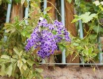 Duranta erecta blossom. Beautiful blossom of Duranta erecta tropical plant Royalty Free Stock Image