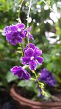 Duranta erecta duranta repens fiołek kwitnie purpurowych kwiaty Obrazy Royalty Free