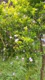 Duranta erecta eller guld- daggdroppe eller blomma för duvabär eller himmel Arkivfoto