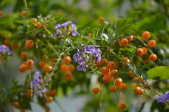 Duranta erecta flowers and Duranta erecta orange fruits Royalty Free Stock Image