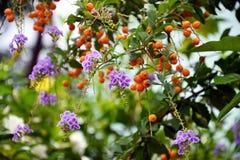 Duranta erecta flowers and Duranta erecta orange fruits Royalty Free Stock Images