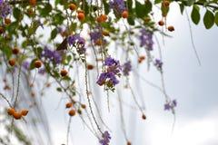 Duranta erecta kwitnie i Duranta erecta pomarańcze owoc zdjęcia royalty free