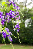 Duranta erecta purple flowers bloom Stock Photos
