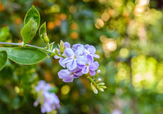 Duranta erecta purple flowers bloom beautifully in the garden Royalty Free Stock Photos