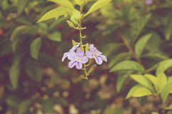 Duranta erecta or sky flower small purple floral vintage Royalty Free Stock Photos