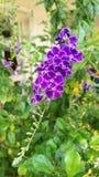 Duranta erecta. A tropical flower call Duranta erecta Royalty Free Stock Image