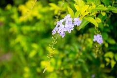Duranta, fiore del cielo, goccia di rugiada dorata, bacca di piccione, repe di Duranta Fotografie Stock Libere da Diritti