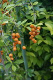 Duranta fruits or orange berries. Growing in the garden, close up Royalty Free Stock Photography