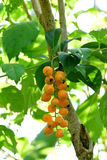 Duranta fruits Stock Images