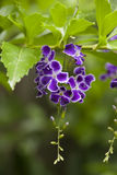 Duranta Geisha Girl flower bunch, Stock Images