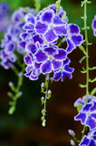 Duranta Geisha Girl Flowers. In close-up shot with blurry green/brown background Stock Photo