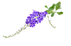 Duranta, Golden dewdrop, Pigeon berry isolated on white backgrou Royalty Free Stock Images