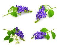 Duranta, Golden dewdrop, Pigeon berry Stock Photos