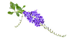 Duranta, Golden dewdrop, Pigeon berry on white backgrou Royalty Free Stock Photography