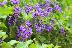 Duranta repens πολλά όμορφα πορφυρά λουλούδια στοκ εικόνα