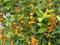 Duranta repens erecta orange berry. Herb plant in garden. Stock Photo