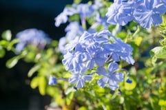 Duranta repens L ;Duranta erecta L ;天空花;金黄露滴;鸽子莓果 图库摄影