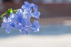 Duranta repens L ;Duranta erecta L ;天空花;金黄露滴;鸽子莓果 库存照片