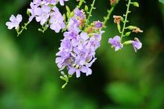 Duranta repens z latającymi pszczołami obraz stock