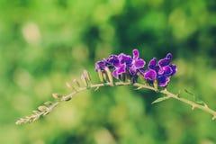 Duranta roxo Ereta floresce na árvore do duranta Imagem de Stock Royalty Free