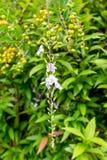 Duranta, Sky flower, Golden dew drop, Pigeon berry, Duranta repe Royalty Free Stock Image