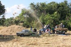 Durante la stagione del raccolto del riso immagine stock