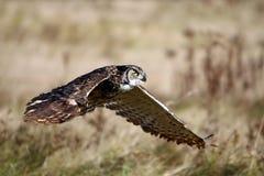 Durante o vôo de uma grande coruja Horned Imagem de Stock
