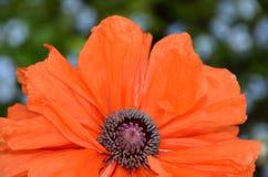 Durata dei petali pieni del papavero del fiore di un'arancia di gloria Fotografie Stock