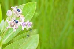 Durata dell'insetto Fotografia Stock