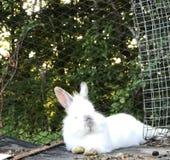 Durata di un coniglio Immagine Stock