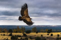 The flight of the king. Griffon vulture. stock images