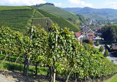 Durbach vineyards. View past the vineyards towards the town of Durbach, Ortenau region in Baden Germany Stock Image