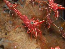 Durban Dancing Shrimp Royalty Free Stock Photography