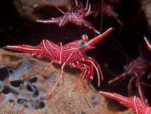 Durban Dancing Shrimp Stock Photography