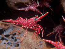Durban Dancing Shrimp. Strutting their stuff on a sponge at Seraya Secrets, Bali Stock Photography