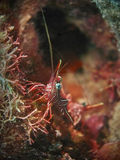 Durban Hinge-beak Shrimp Stock Photography