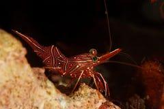 Durbanensis de Rhynchocinetes - Similan, Tailândia Imagens de Stock