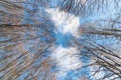 Durch Baumniederlassungen ohne Blätter zu einem blauen, bewölkten Himmel oben schauen Stockfotos
