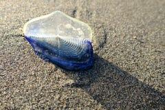 Durch-d-Wind Seemann Jellyfish Lizenzfreie Stockfotos