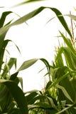 Durch den Mais und die Quasten Stockbilder