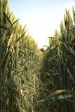 Durch den Weizen Stockfoto