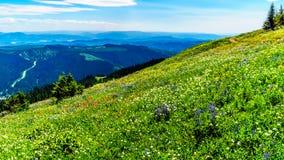 Durch die Alpenwiesen mit Wildflowers in voller Blüte wandern Lizenzfreie Stockbilder