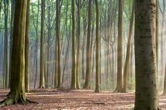 Durch die Bäume - dunstiger Waldmorgen Stockfotografie
