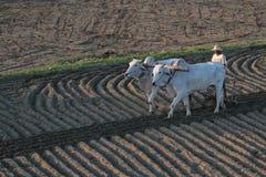 Durch die Felder mit Ochsen Lizenzfreie Stockfotografie