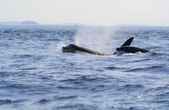 Durchbrechen der Schwertwale Stockbild