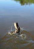 Durchbrechen des Alligators Lizenzfreie Stockfotografie