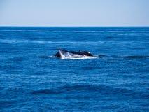 Durchbrechen von Walen, von Buckel-Wal-Rückseite und von Endstück auf blauem Ozean lizenzfreies stockfoto