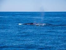 Durchbrechen von Walen, Buckel-Wal-Rückseiten auf blauem Ozean lizenzfreies stockbild