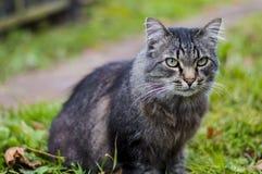 Durchdachte alte Katze, die auf dem Teppich und den Blicken in den Abstand sitzt Lizenzfreie Stockfotos